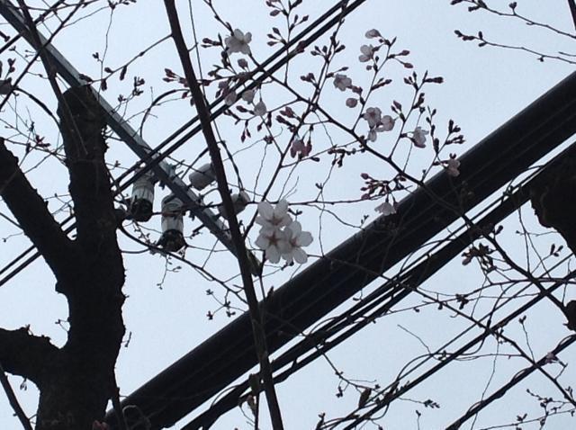 桜のつぼみが開きました*\(^o^)/*